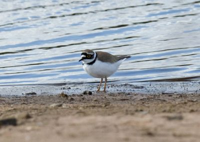 L R Plover 040413